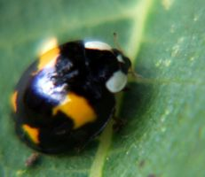 Coccinellidae by thierry-eamon