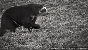 Spectacled bear by torreoso