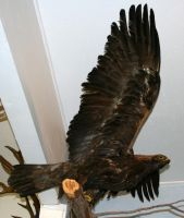 MoA Museum 173 Eagle by Falln-Stock