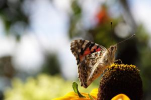 Painted Lady by Skaldur