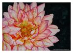 Dahlia watercolor 2 by rosalinvinci