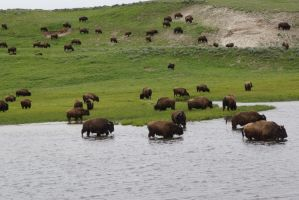 Bison by bowtiephotography
