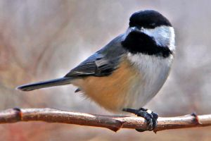 chickadee by clippercarrillo