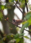 Sparrow by PenguinPhotography