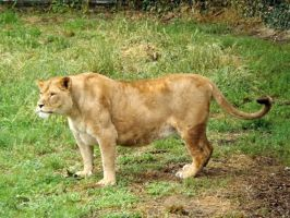 2014 - African lioness 14 by Lena-Panthera