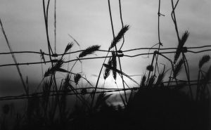 Wild Summer Wheat bw by CorazondeDios
