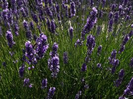 lavender by awjay