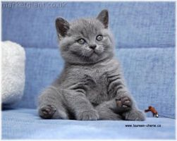 British-shorthair by bippe