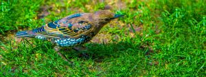 Juvenile Common Starling by TomasMascinskas