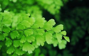 Maidenhair Fern II by nkear5