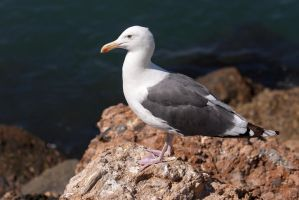 Gull on the Rocks by FellowPhotographer