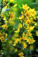 Little yellow flowers by George---Kirk