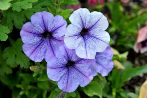 Petunia by lawout16