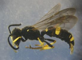 Microphotography Wasp Stock by zpyder