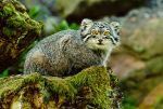 The Pallas's Cat by PictureByPali