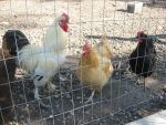 Rooster and chickens 4 by Reyphotos