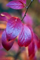 Red Leaves of Autumn by amrodel