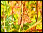 ANOTHER Butterfly photo. by Rosie-Barrett