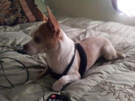 Shaggy the Chihuahua by forester10
