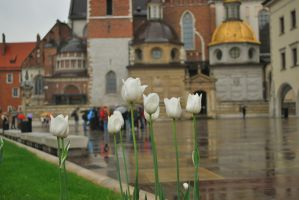 White tulips by MrSandmanGR