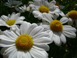 Daisy by laura-worldwide