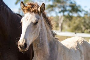 HH Iberian foal close up of head by Chunga-Stock