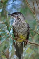 Red Wattlebird by asiaseen