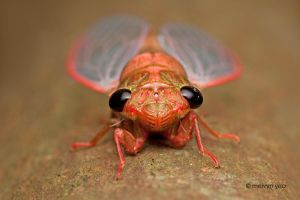 Freshly Molted Cicada 2 by melvynyeo