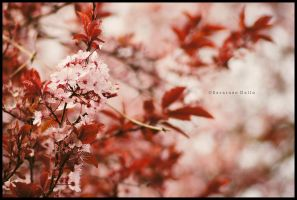 Cherry Blossom by ScooterTheDog