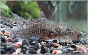Corydoras on the beach by IJuneI