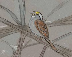 White-throated Sparrow by Unibat