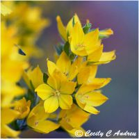 Yellow Loosestrife by CecilyAndreuArtwork