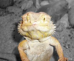Bearded dragon by M10tje