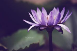 Purple Water Lily II by jdaoen