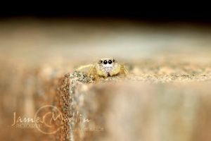 jumping spider 40 by JamesMedlin