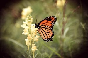 Monarch Butterfly by WickedOwl514