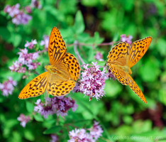 Orange Butterflies by Kozekito