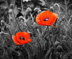 red poppies in black and white by Nexu4