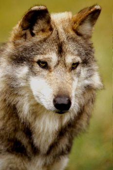 Mexican Wolf 5 by Art-Photo