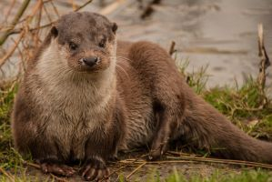 Otter - front by NicoFroehberg