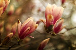 Magnolias #1 by vmulligan