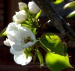 Pear Blossoms 0739 by Onatopa