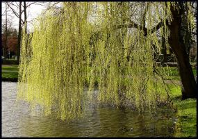 A willow-tree in spring by jchanders