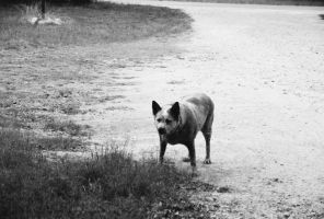 Red Heeler- B and W by Chris01125