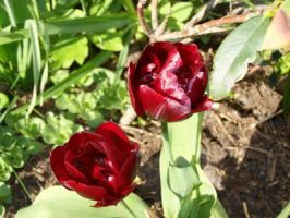 Tulips by black-cat16-stock