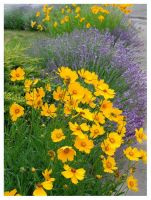 Tickweed and Lavender by zasu