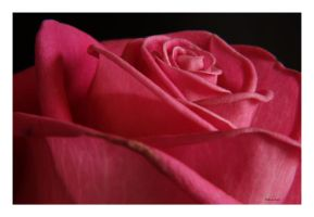 Mothers Day Rose 046 by Deb-e-ann