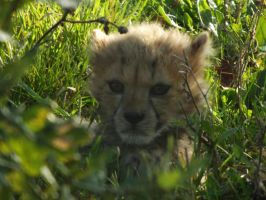 2014 - Cheetah cub 5 by Lena-Panthera