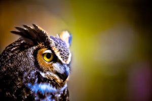 Great Horned Owl IV by xernex