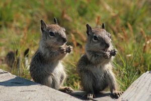 img9003Gray Squirrels - Pair by robert-kim-karen